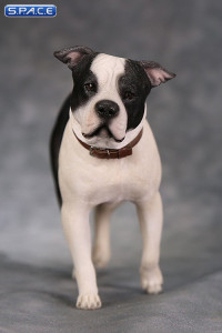 1/6 Scale walking black & white American Staffordshire Terrier