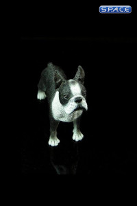 1/6 Scale Boston Terrier (Dog Series)